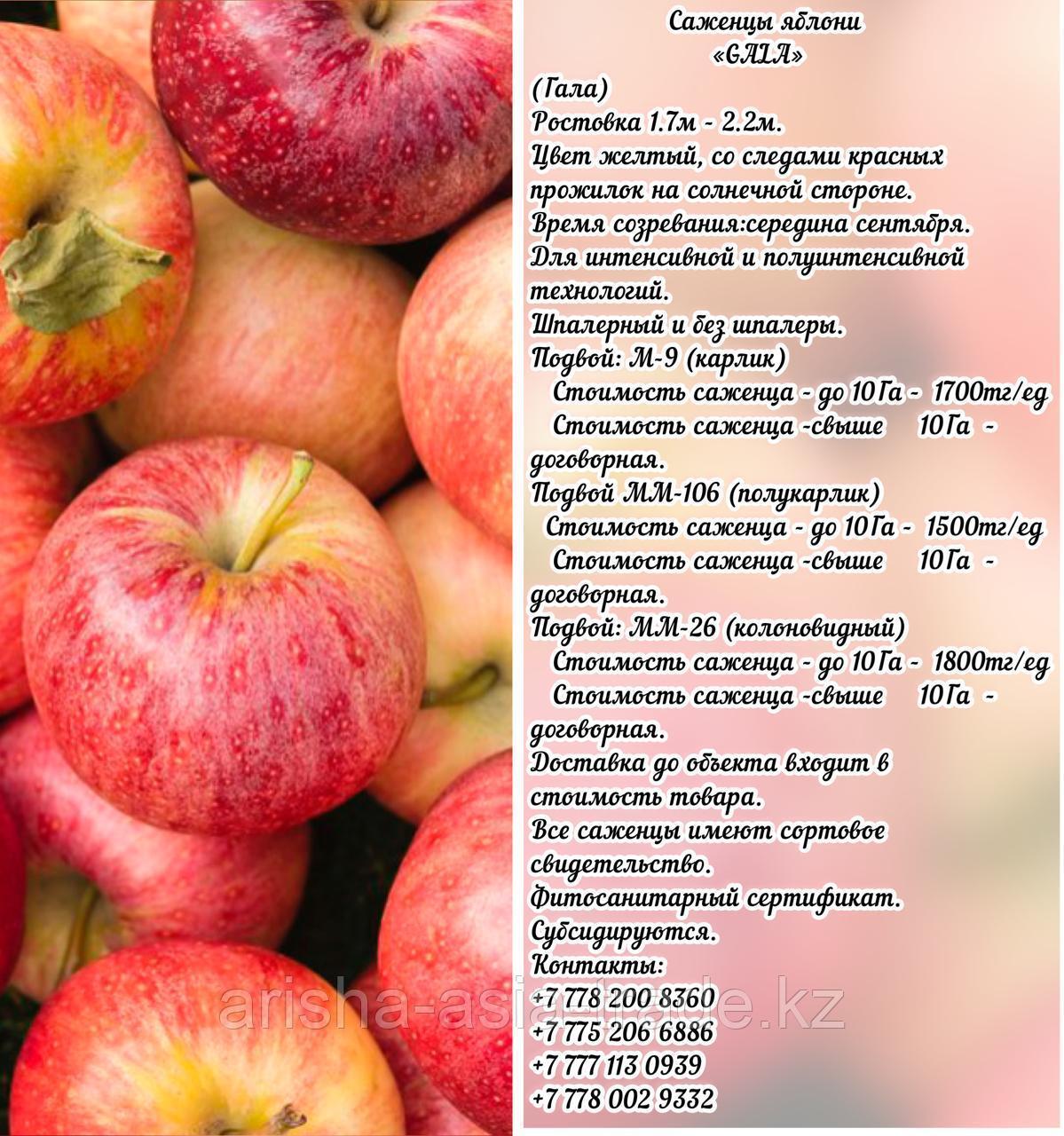 "Саженцы яблони ""Gala"" (Гала) М 9 Сербия"