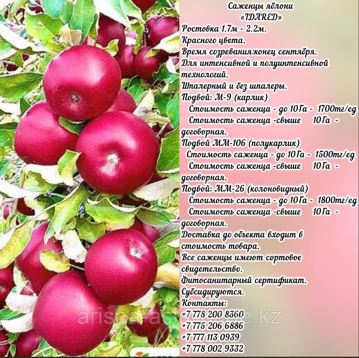 """Саженцы яблони """"Idared"""" (Айдаред)  М 9 Сербия"""