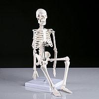 Макет 'Скелет человека' 45см
