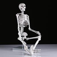Макет 'Скелет человека' 85см