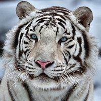 Картина на подрамнике 'Белый тигр' 40*40 см