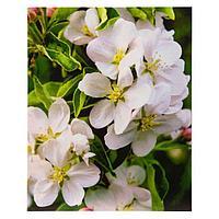 Картины на подрамнике 'Цветки яблони' 40*50 см