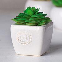 Суккулент в керамическом горшочке Shine, 7.5 x 5.5 x 6 см