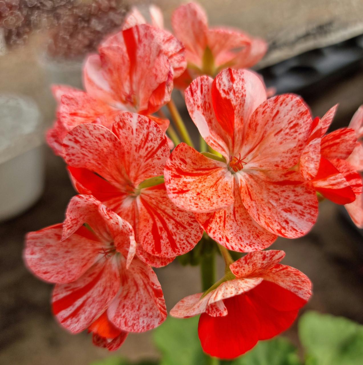 Peppermint Twist/ подрощенное растение