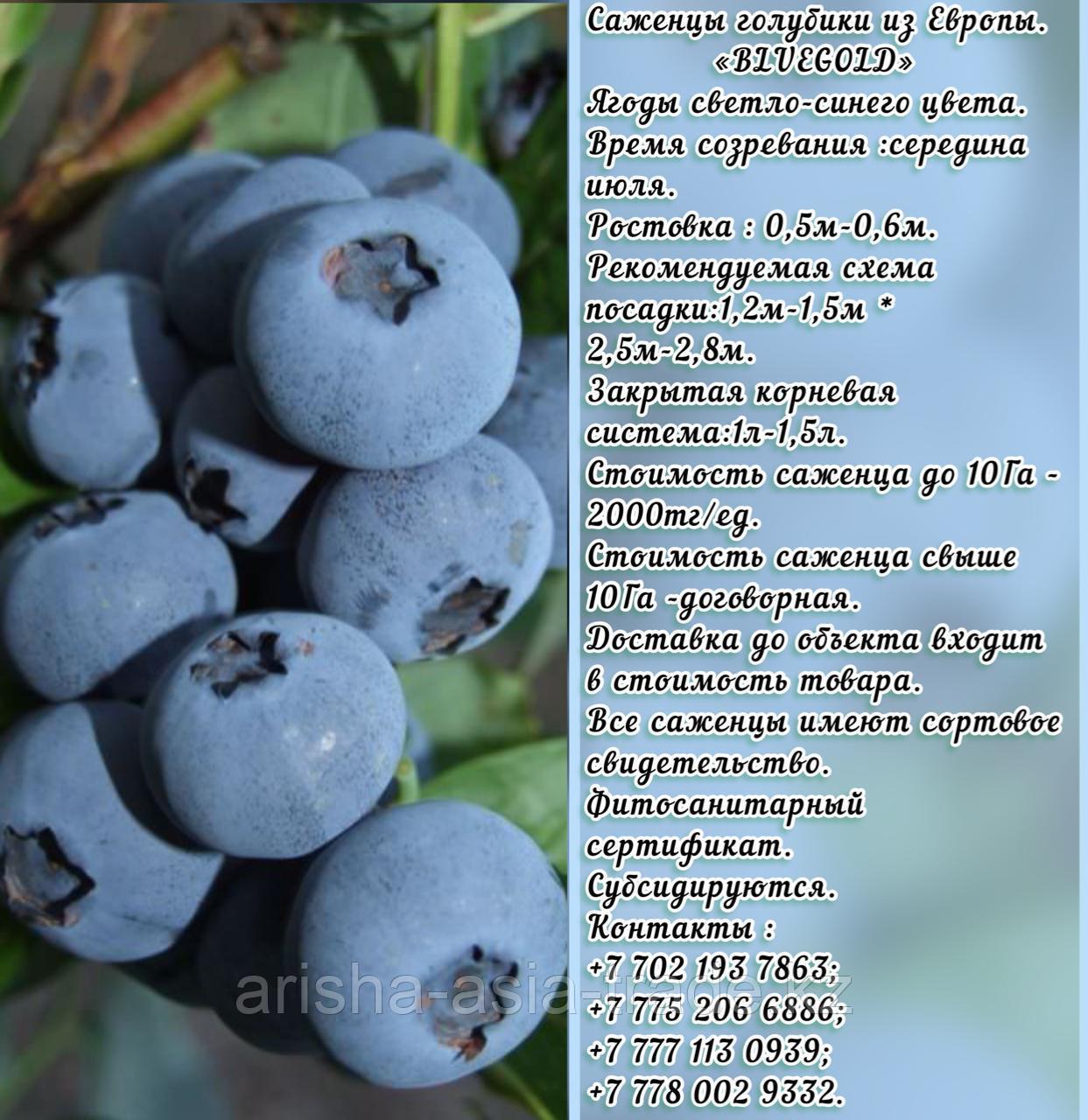 """Саженцы голубики """"BlueGold"""" Сербия"""