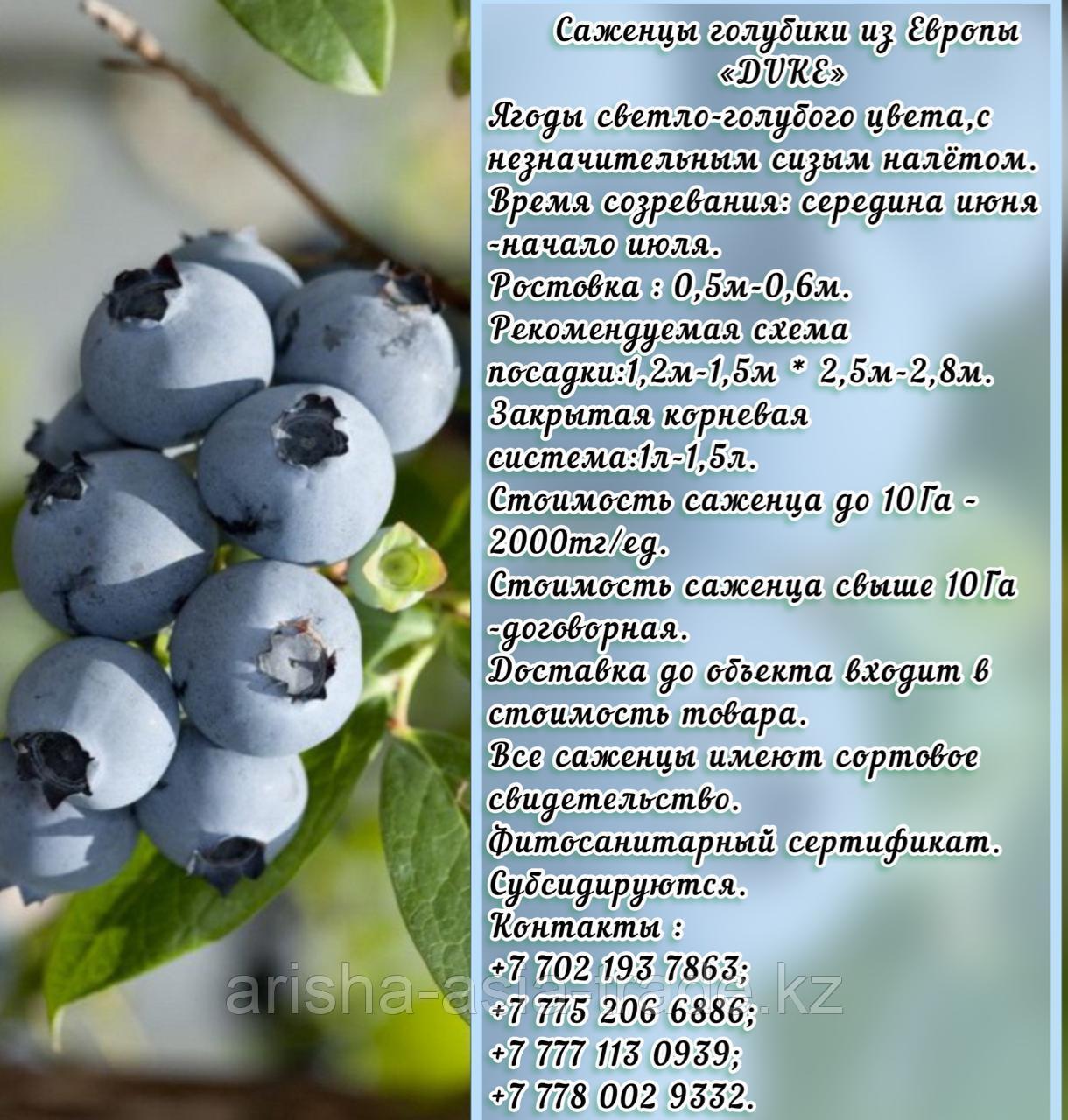 """Саженцы голубики """"Bluecrop"""" Сербия"""