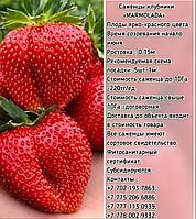 """Рассада клубники """"Marmelada"""" Сербия"""
