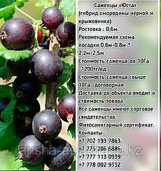 """Саженцы """"Юста"""" Сербия"""