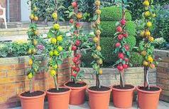 Мини фруктовые горшечные деревья