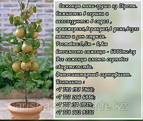 Саженцы мини фруктовых деревьев груши Сербия