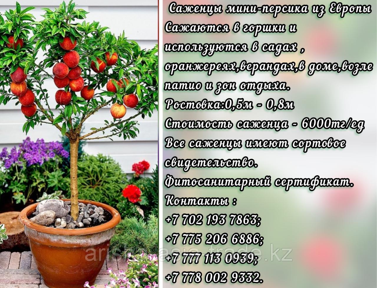 Саженцы мини фруктовых деревьев персика Сербия