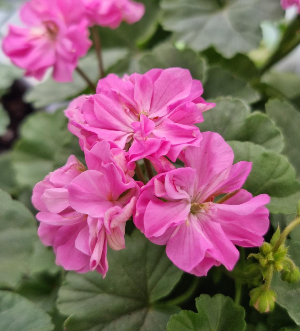 Brookside Fiesta / подрощенное растение