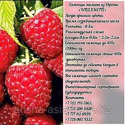 "Саженцы малины ""Willamette"" (Вилламет) Сербия"