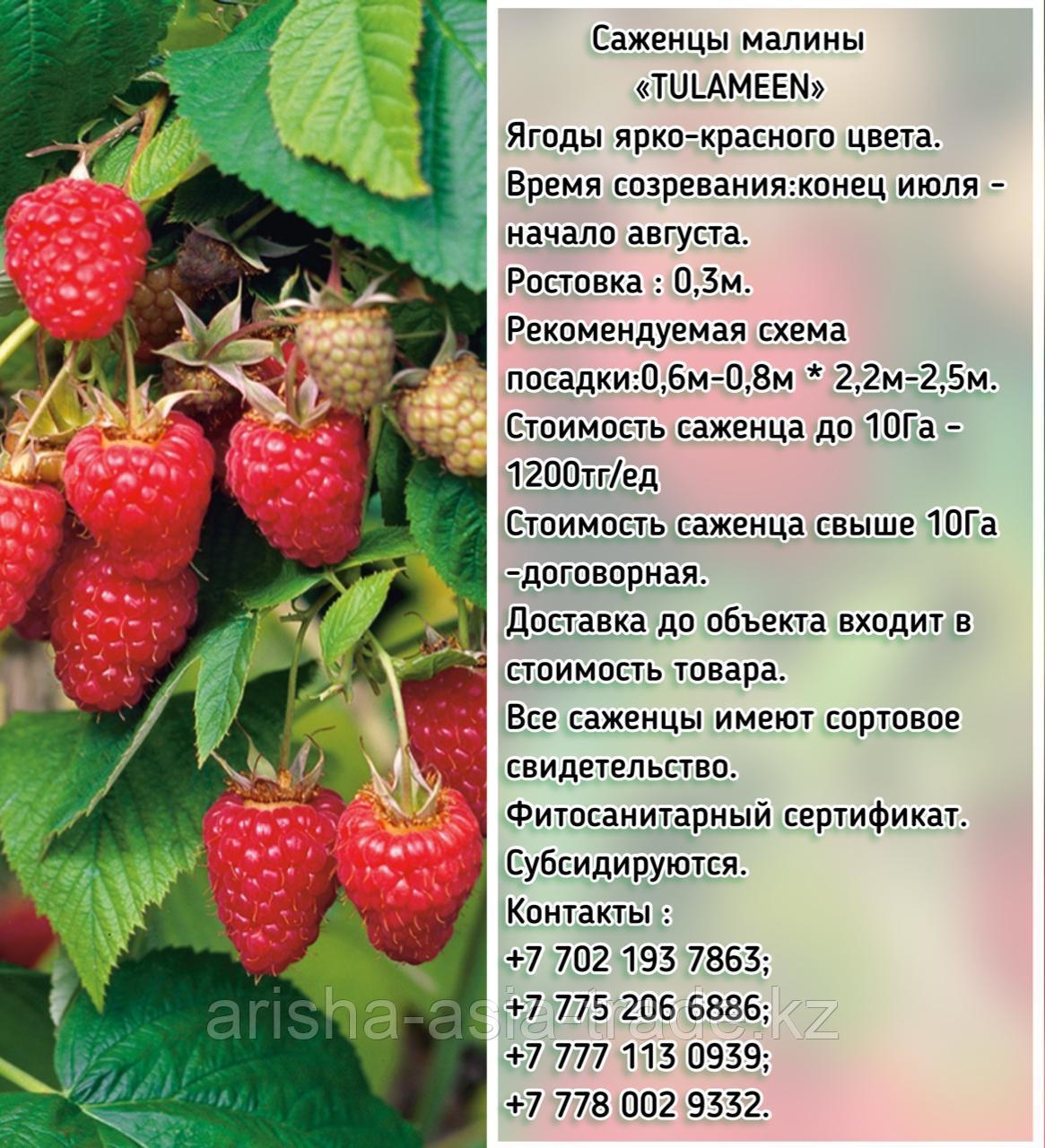 """Саженцы малины """"Tulameen"""" (Туламин)  Сербия"""