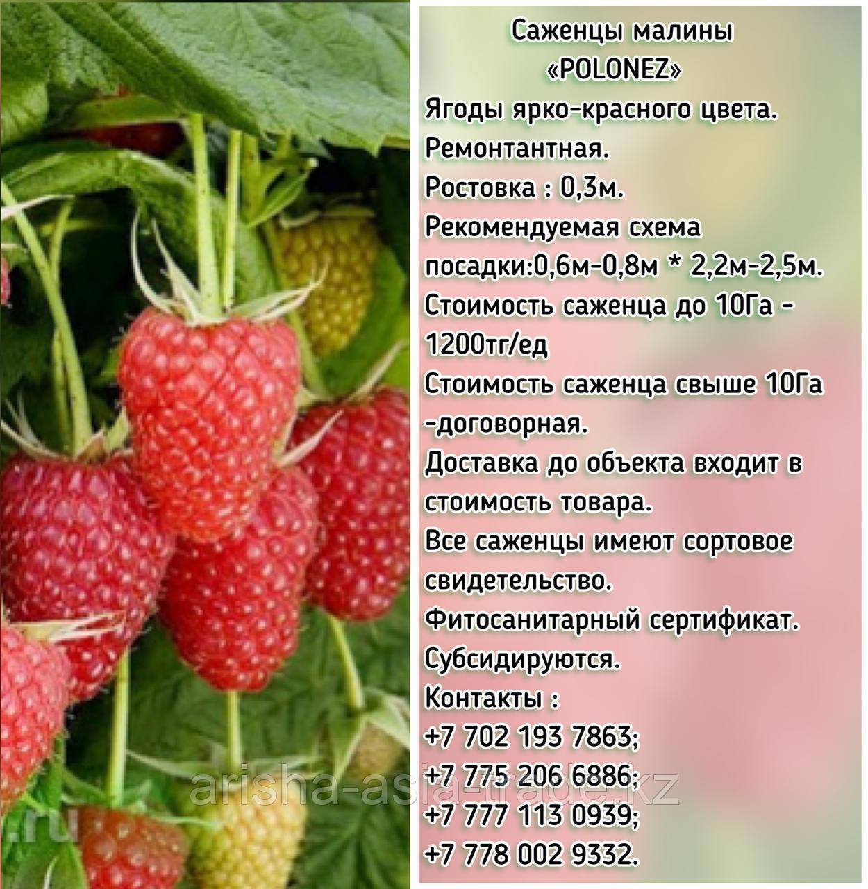 """Саженцы малины """"Polonez"""" (Полонез) Сербия"""