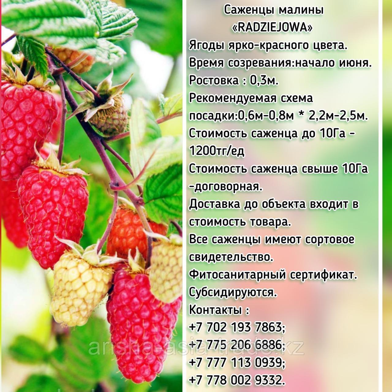 "Саженцы малины ""Radziejowa"" (Радзейова) Сербия"