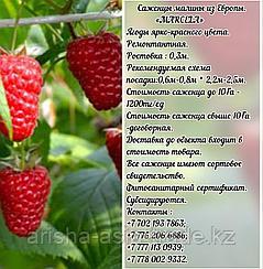 "Саженцы малины ""Marcela"" (Марсела) Сербия"