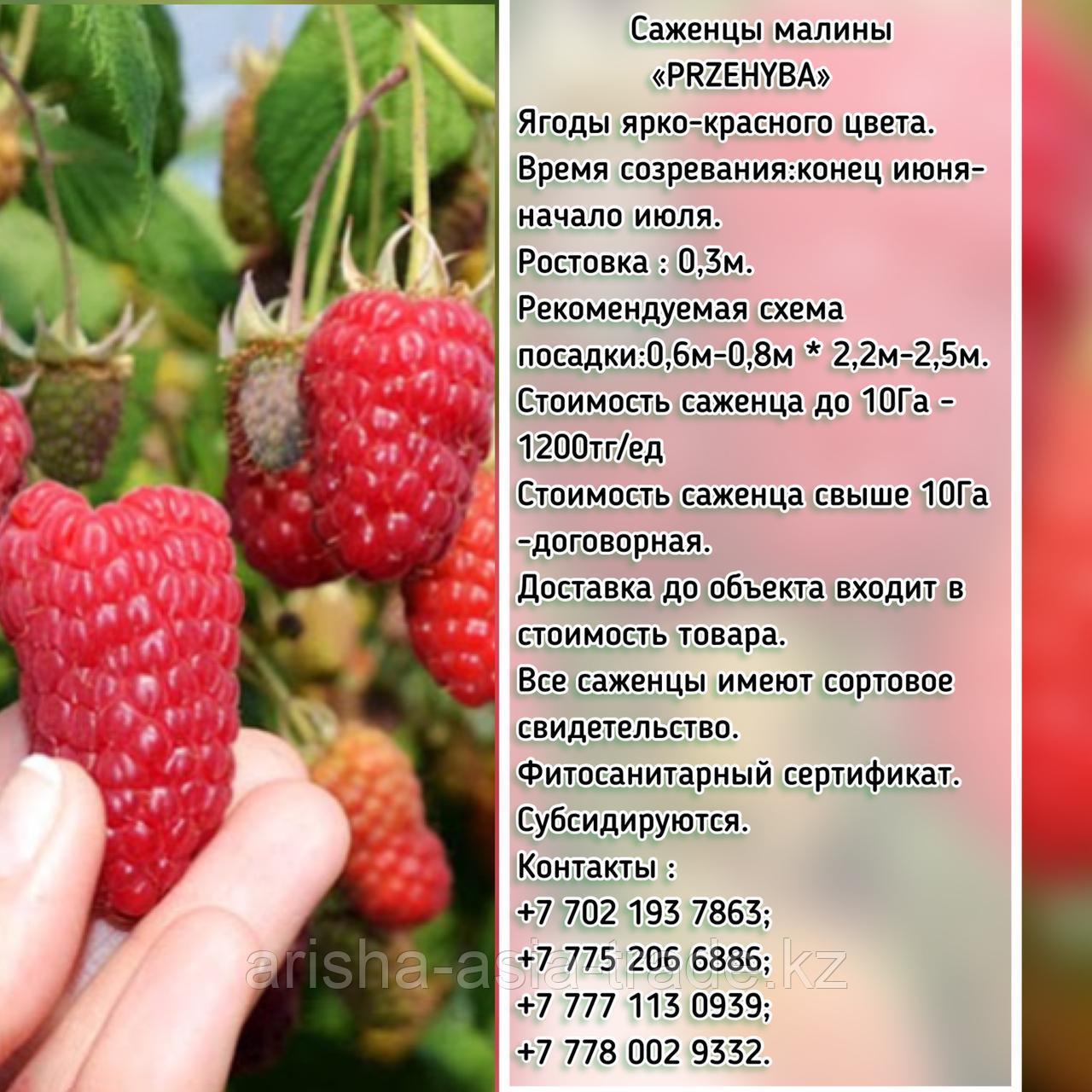 "Саженцы малины ""Przehyba"" (Пшехиба) Сербия"