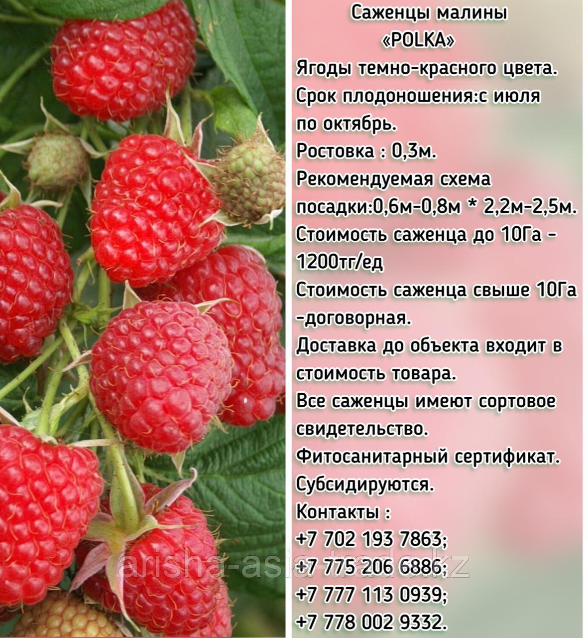 """Саженцы малины """"Polka"""" (Полька)  Сербия"""
