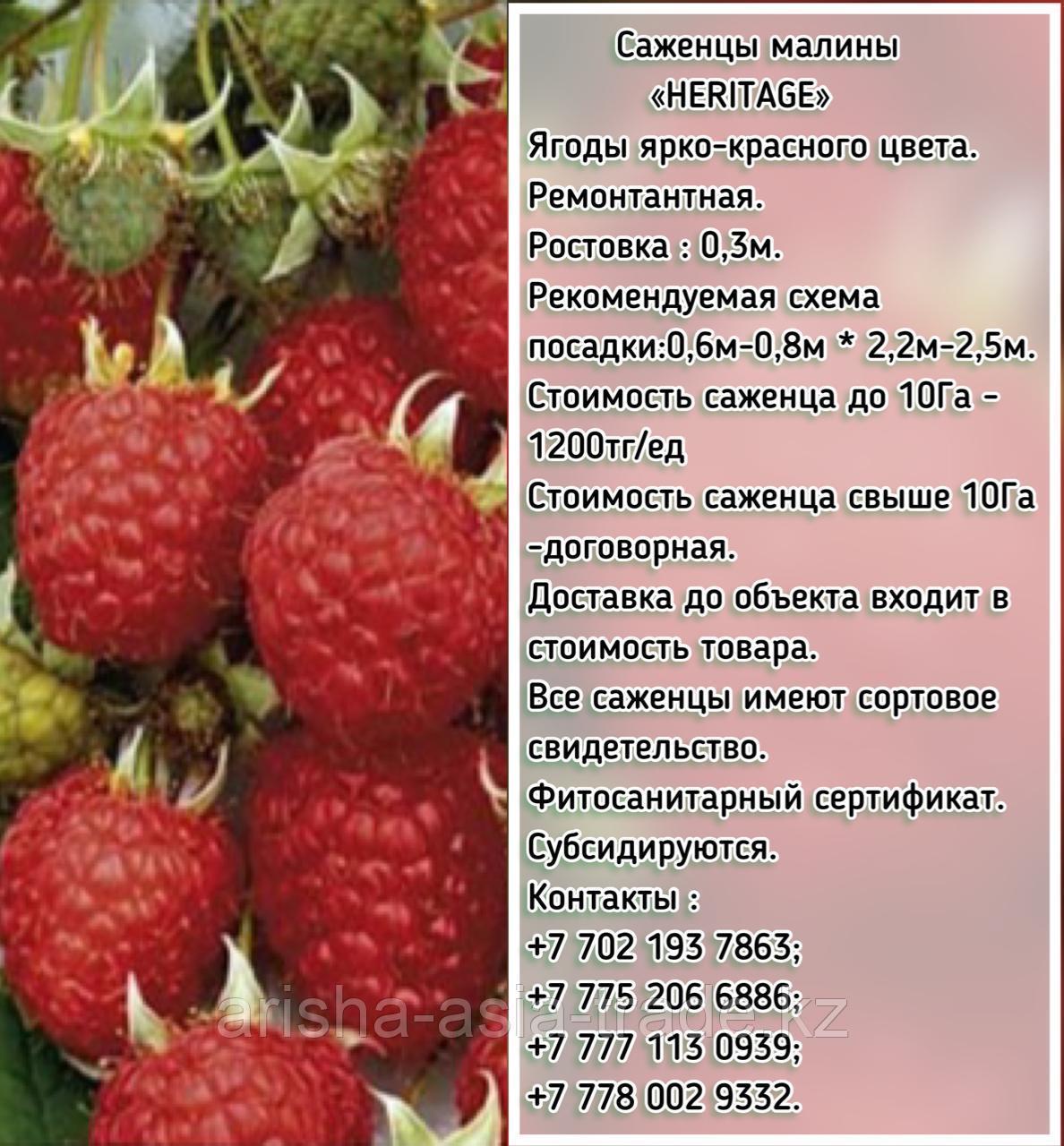 """Саженцы малины """"Heritage"""" (Херитейдж) Сербия"""
