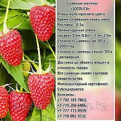 "Саженцы малины ""Socolica"" (Соколица) Сербия"