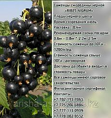 """Саженцы черной смородины """"Промышленный"""" Сербия"""