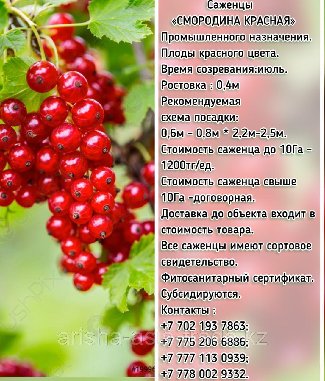 """Саженцы красной смородины """"Промышленный"""" Сербия"""