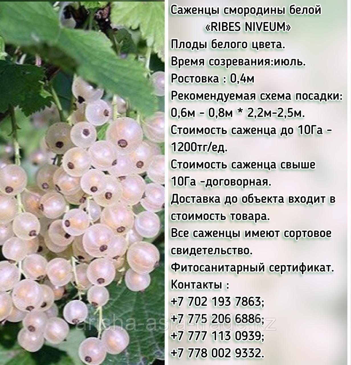 """Саженцы белой смородины """"Промышленный"""" Сербия"""