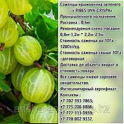 Саженцы крыжовника зеленого Сербия
