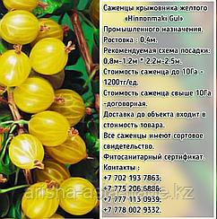 Саженцы крыжовника янтарного Сербия