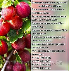 Саженцы крыжовника красного Сербия