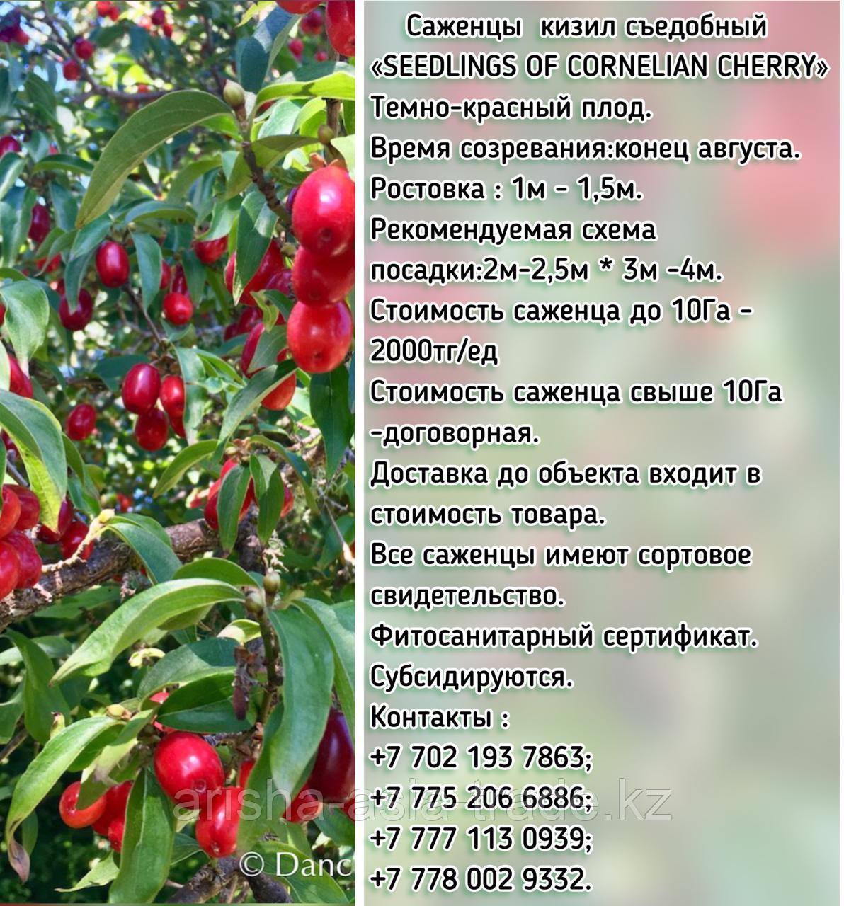 """Саженцы кизил съедобный """"Cornelian cherry"""" (Корнелиан черри) Сербия"""