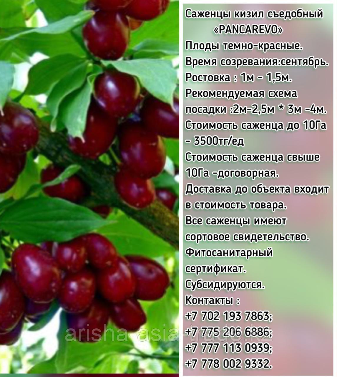 """Саженцы кизил съедобный """"Pancarevo"""" (Пансарево) Сербия"""