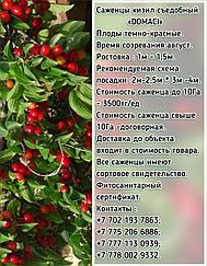 """Саженцы кизил """"Domaci"""" (Домаси) Сербия"""