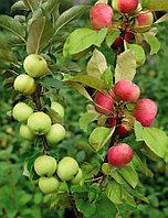 Яблоня Дерево-Сад