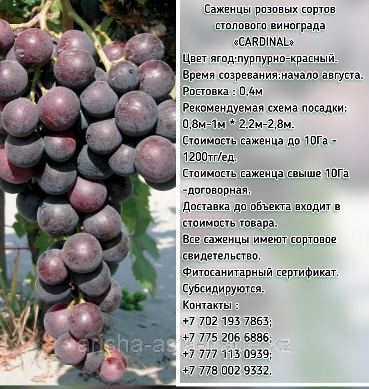 """Саженец винограда розовый столовый """"Cardinal""""(Кардинал) Сербия"""
