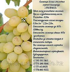 """Саженец винограда белый столовый """"Victoria""""(Виктория) Сербия"""