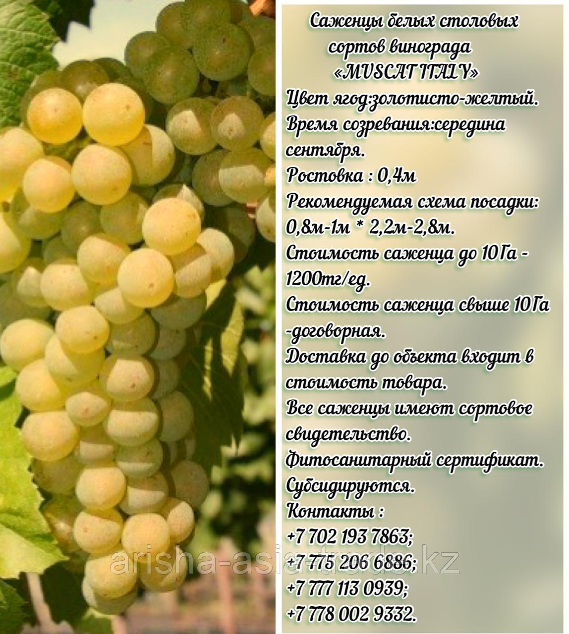 """Саженец винограда белый столовый """"Muscat Italy"""" (Мускат Италия) Сербия"""