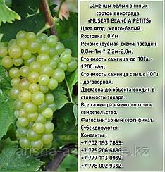 """Саженец винограда белый винный """"Muscat blanca a petits"""" (Мускат Бланка петит) Сербия"""
