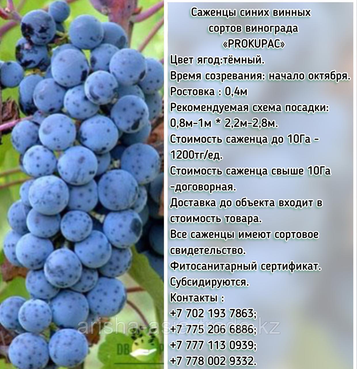 "Саженец винограда синий винный ""Prokupac"" (Прокупац) Сербия"
