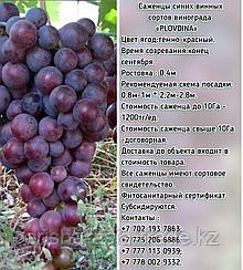 """Саженец винограда синий винный """"Plovdina"""" (Пловдин) Сербия"""