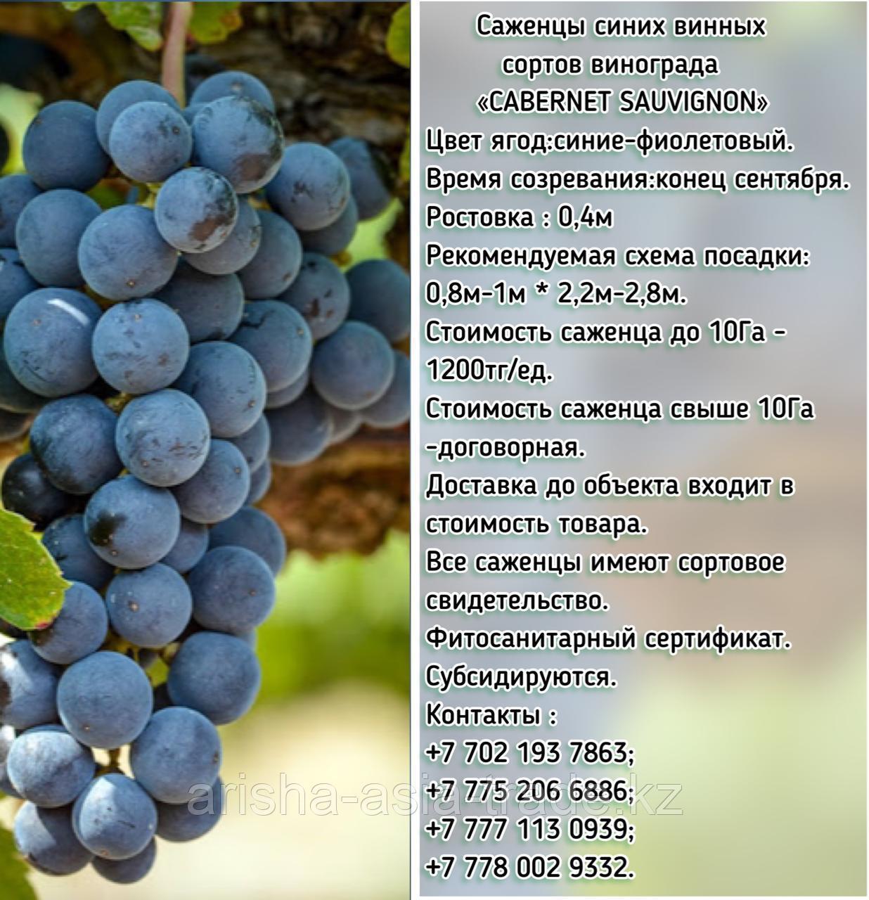 """Саженец винограда синий винный """"Cabernet Sauvignon"""" ( Каберне-совиньон) Сербия"""