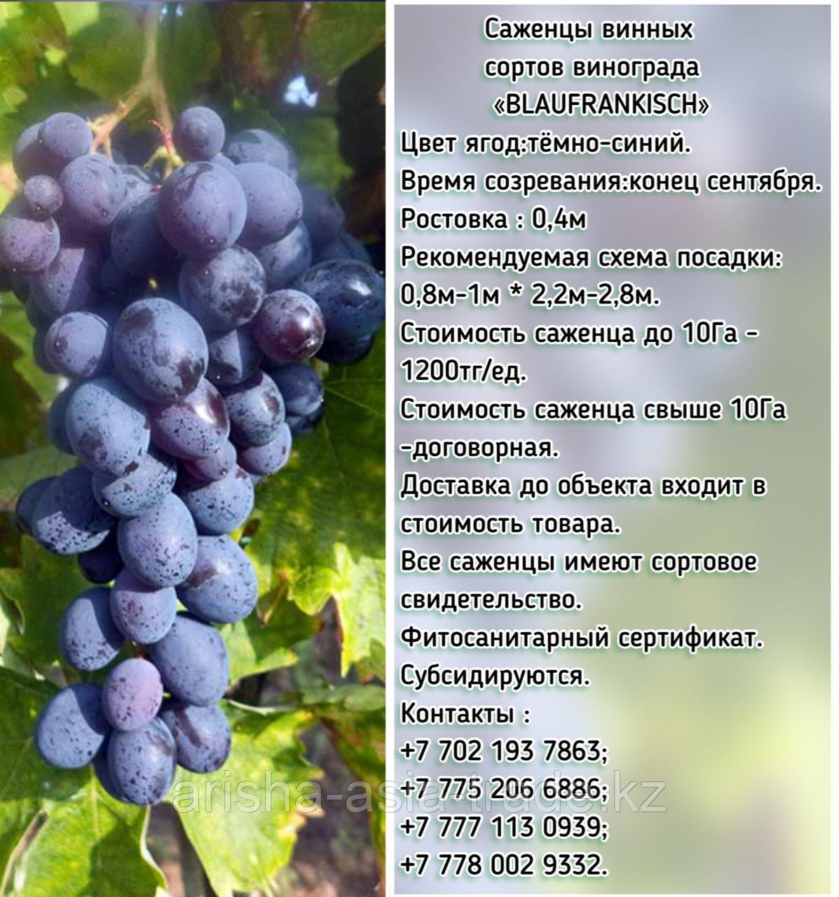 """Саженец винограда синий винный """"Blaufränkisch"""" (Блауфранкиш) Сербия"""
