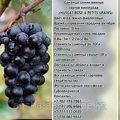 """Саженец винограда синий винный """"Muscat rose a petits grains"""" (Розовый мускат петит грейнс) Сербия"""