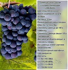 """Саженец винограда синий столовый """"Moldоva"""" (Молдова) Сербия"""