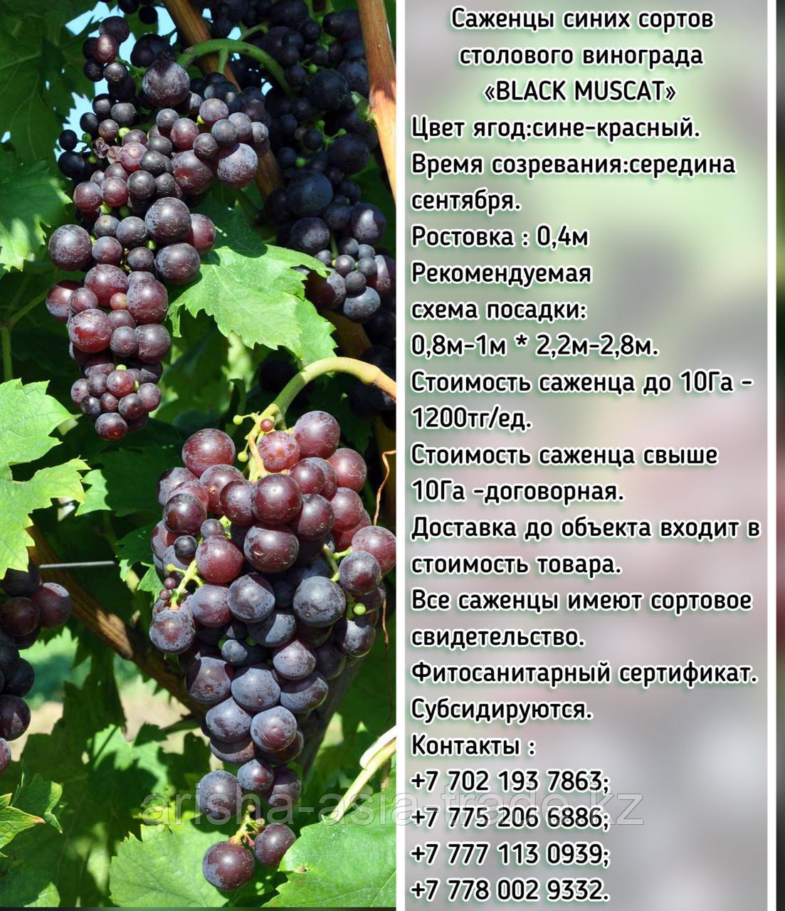 """Саженец винограда синий столовый """"Black muscat"""" (Черный мускат) Сербия"""