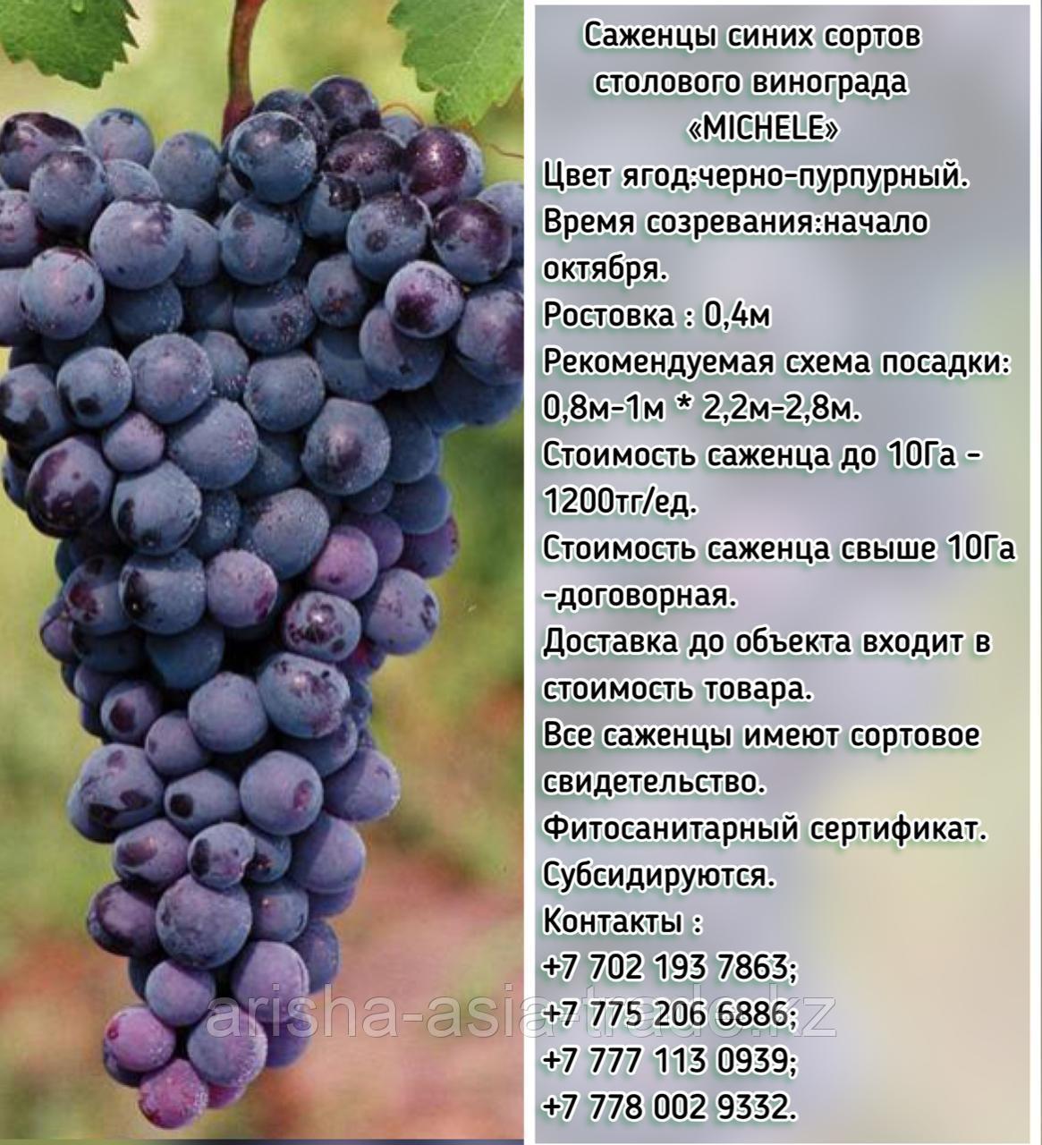 """Саженец винограда синий столовый """"Michele"""" (Мишель) Сербия"""
