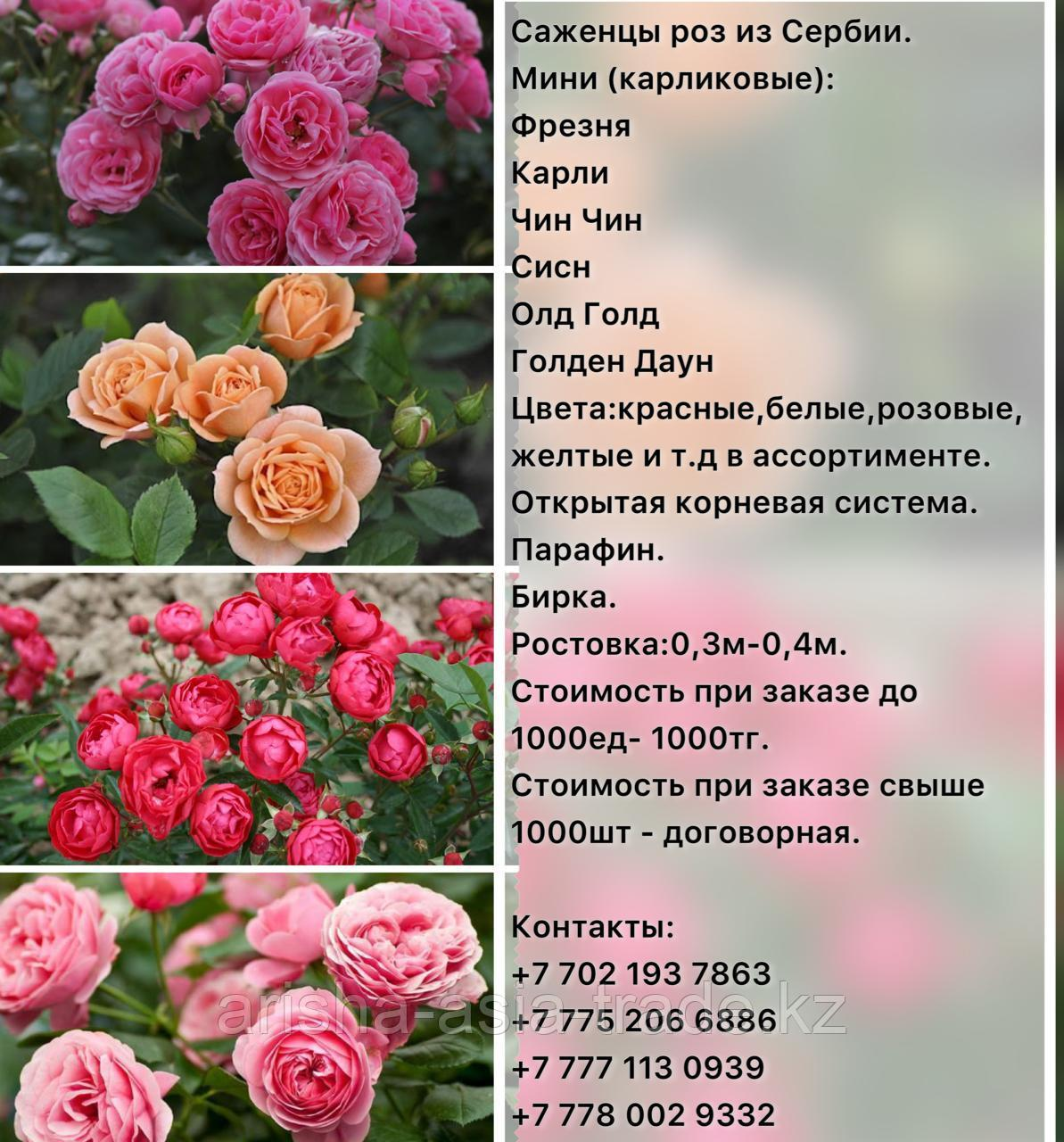 Саженец розы мини Сербия