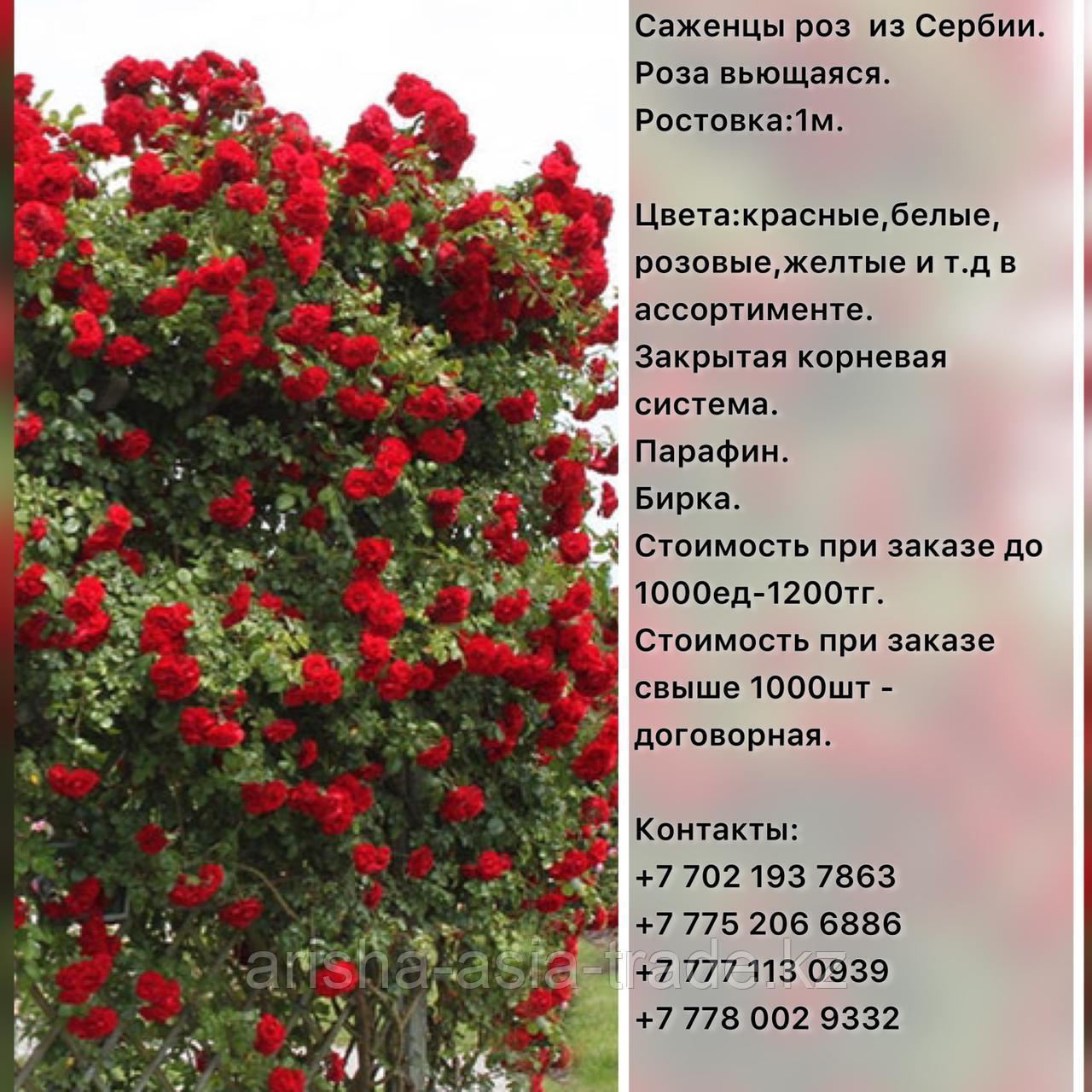 Саженец розы вьющейся и плетистой Сербия