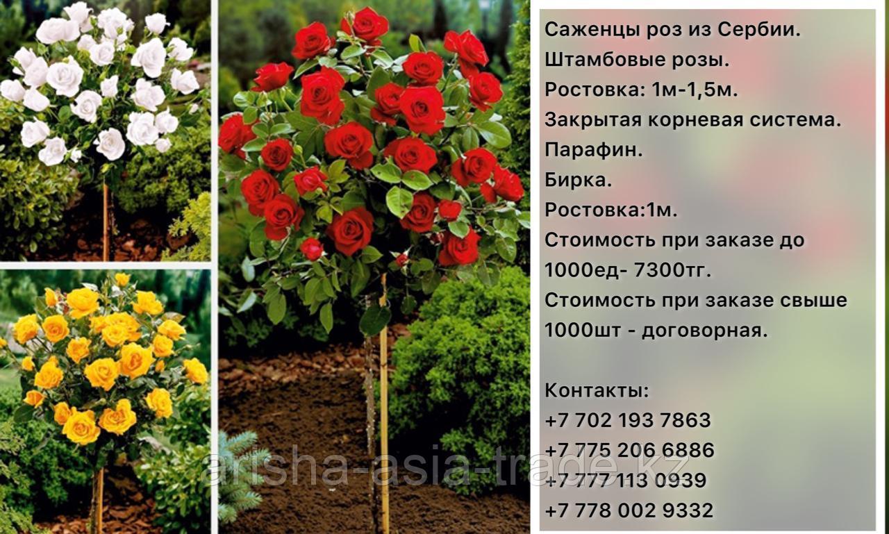 Саженцы штамбовые розы Сербия